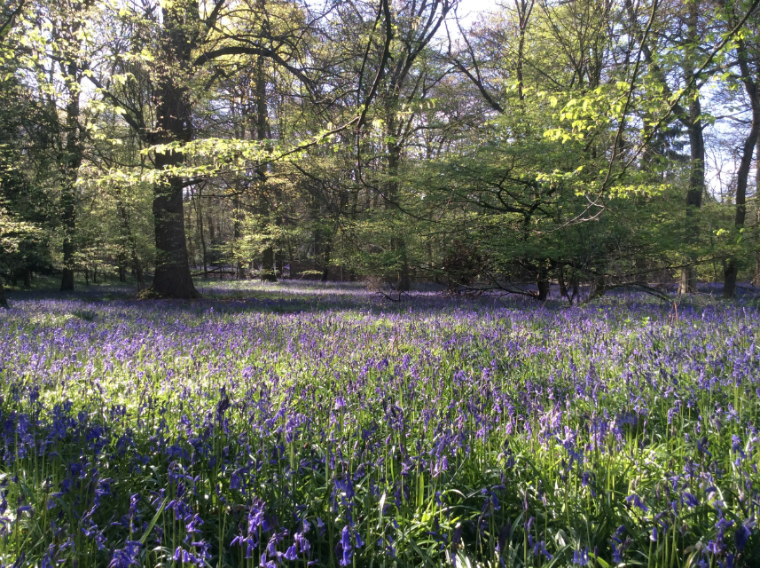 West Sussex bluebells